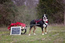 Dallas Baby Announcement Photographer, Pregnancy Announcement Dallas, Dallas Baby Photographer, Greater Swiss Mountain Dog, KM Photo Studio, Creative Pregnancy Announcement